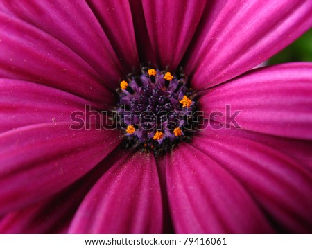 Purple daisy, close up at the spring time - stock photo