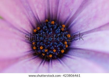 stock-photo-purple-daisy-flower-centre-u