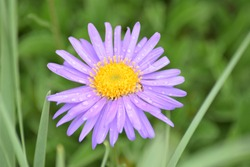 Purple daisy with dew drops
