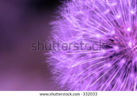Purple dandelion. - stock photo