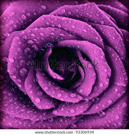 Purple dark rose background, abstract floral natural pattern, fresh flower with water drops, beautiful wet plant petals texture, nature details, holidays symbol of love