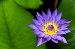Purple day blooming water lily amid beautiful green lily pads.