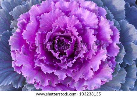 Purple decorative cabbage.