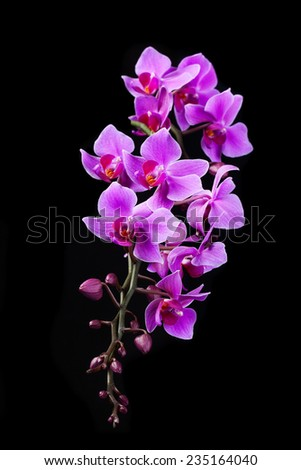 purple Dendrobium orchid in black background