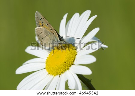 Purple Edged Copper (Lycaena hippothoe) feeding on a marguerite
