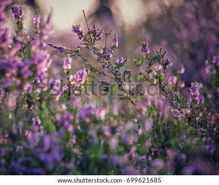 Purple fields at the Brunssummerheide in close-up #699621685