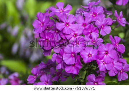 Purple flame flowers of phlox (Phlox paniculata)