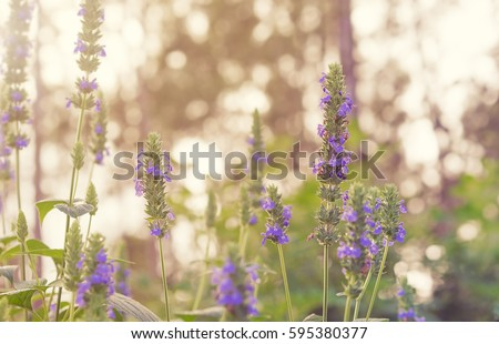 Purple flower blossoms and green foliage of Chia, healthy organic herb Salvia #595380377