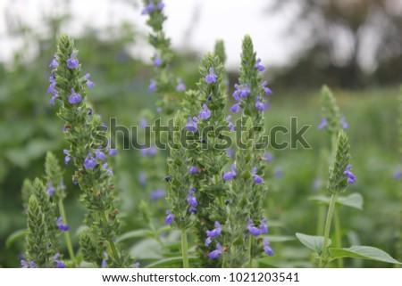 Purple flower blossoms and green foliage of Chia (Salvia hispanica L ...