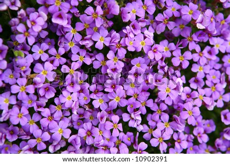 Purple flower carpet - stock photo