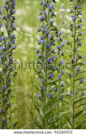 purple flower (Echium vulgare) on green meadow