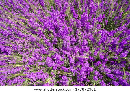 Purple flower field background