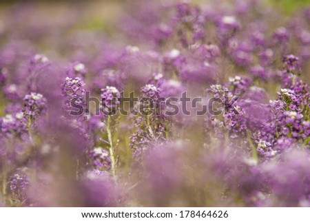 Purple flower field background. selective focus, blurred