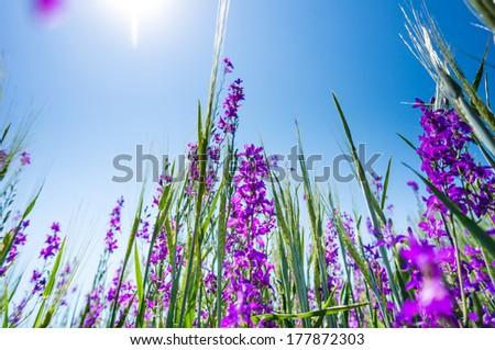 Purple flower field background under sunny sky