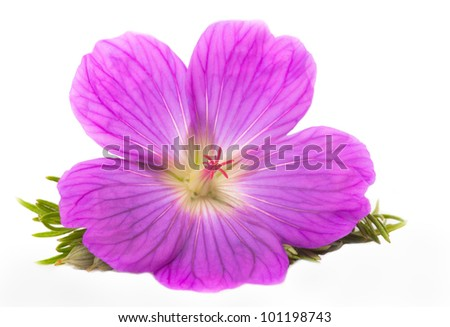 Purple Flower Isolated on White Background, Small Flower - stock photo