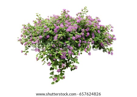 purple flower Lily vine  bush tree isolated tropical plant on white background with clipping path