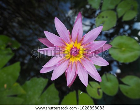 Purple flower of water lily with yellow center floating on the water purple flower of water lily with yellow center floating on the water surface mightylinksfo