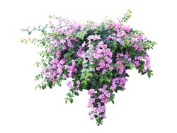 purple Flower plant isolated with clipping path on white background