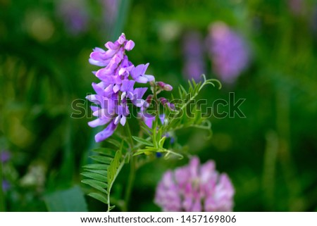 Purple flower vetch (Vicia cracca) on meadow, blooming with violet and blue flowers.