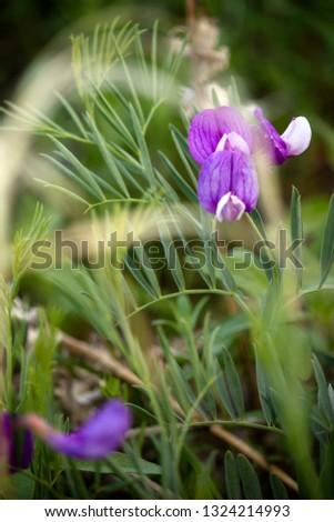 Purple Flower/Vicia Peregrina