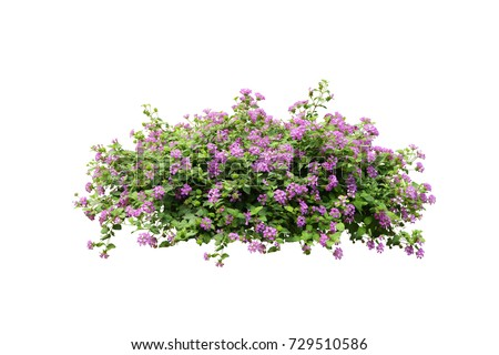 Photo of  purple flower vine  bush tree isolated tropical Colorful floral plant on white background with clipping path