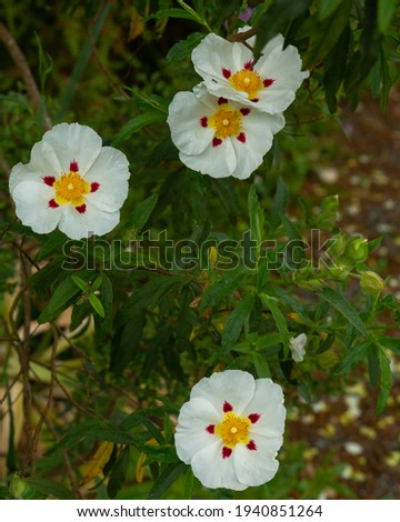 Purple-flowered rock rose, alan fradd, in bloom Stok fotoğraf ©