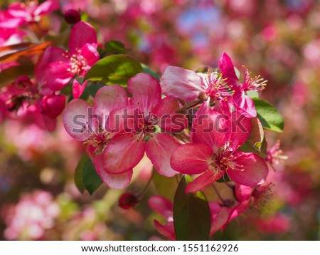 Purple Flowering Crabapple flowers, close up. Crab Apple Rudolph or Malus Rudolph tree, with dark pink blossoms in the blurred bokeh background. Early spring. Abstract floral pattern design, backdrop. Stock photo ©