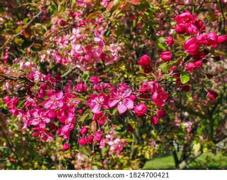 Purple Flowering Crabapple tree, close up. Crab Apple Rudolph or Malus Rudolph tree, with dark pink blossoms in the blurred bokeh background. Early spring. Abstract floral pattern design, backdrop. Stock photo ©