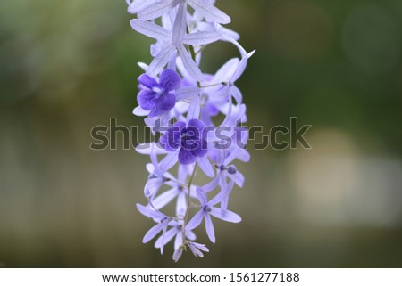 Purple flowers are small bunches, about 10-20 centimeters long. Per bunch are wooden moldings.