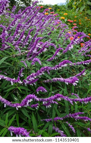 Purple flowers blooming at botanic garden in spring time. #1143510401