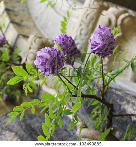 purple flowers, blooming wisteria - stock photo