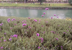 Purple flowers by the river bank. At Taichung city, Taiwan.In November 2018.