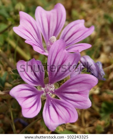 Purple Flowers - Common Mallow or Wild Mallow in the Mediterranean