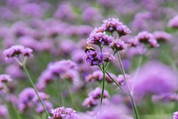 Purple flowers field, Violet flowers and green field in summer day.  Verbena flowers with bee in flowers field background, Selective focus.
