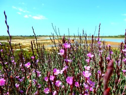 Purple flowers in Ria Formosa nature park, Portugal