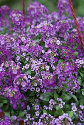 Purple flowers of Alyssum (plant in the family Brassicaceae) in garden. Blossoming of Alyssum. Alyssum bloom in flowerpot. Spring plants, nature. Postcard with flowers (Alissum). Alissum floret photo