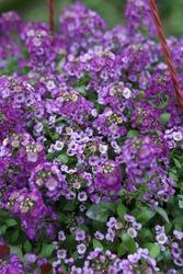 Purple flowers of Alyssum (plant in the family Brassicaceae) in garden. Blossoming of Alyssum. Alyssum bloom in flowerpot. Spring plants, nature. Postcard with flowers (Alissum). Alissum floret photo