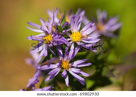 purple flowers of aster amellus