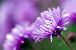 purple flowers of aster dumosus