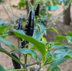 Purple flowers of Black Hungarian chillies ,Plant of a royal black chillies on Italian Organic garden in summer. Black Hungarian plant , Botanical family Capsicum annuum.
