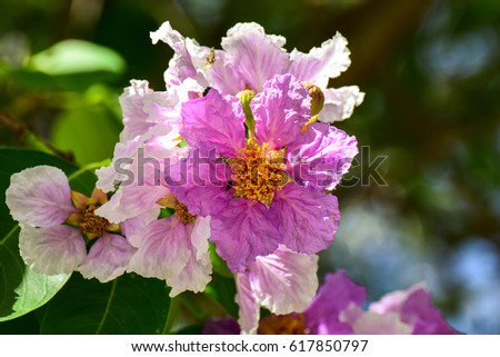 Purple flowers of bungor scientific name lagerstroemia floribu purple flowers of bungor scientific name lagerstroemia floribu mightylinksfo