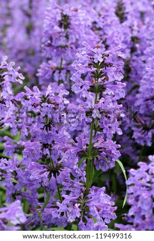 Purple flowers of Hyssopus officinalis (Hyssop) close up.