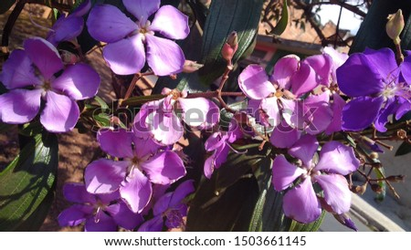 Purple flowers of lent tree on a city street of Belo Horizonte - Brazil