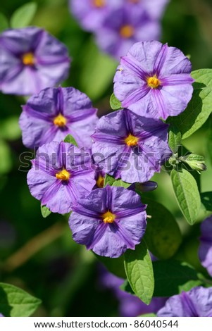 purple flowers of Lycianthes rantonnetii or blue potato bush