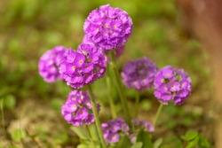 Purple flowers of Primula denticulata (Drumstick Primula). Spring flowers, primroses.