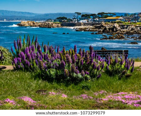 Purple flowers of the Pride of Madeira plant (Echium candicans) on a bluff in Pacific Grove, along the Monterey Bay of central California,  with Lover's Point seen in the background.