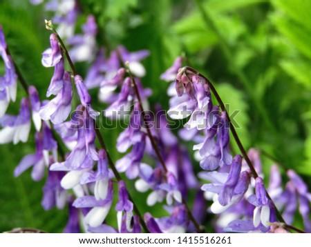 Purple flowers of the species vicia villosa
