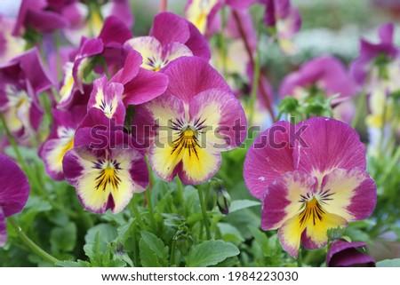 Purple flowers of Viola (genus of flowering plants in purple family Violaceae) in garden. Blossoming of Viola. Pink viola bloom in flowerpot. Spring plants, nature. Postcard with flowers, Viola in pot Сток-фото ©