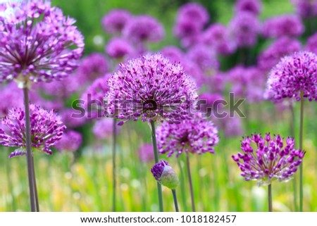 Purple flowers on a fancy violet background. Beauty purple texture and awesome floral composition. Close up of Persian onion. Best floral picture for covers, banners, posters and other projects.