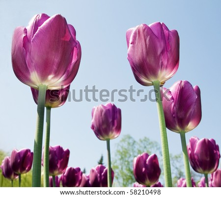Purple flowers tulips close-up background